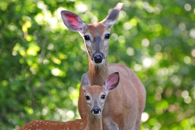 yearling deer