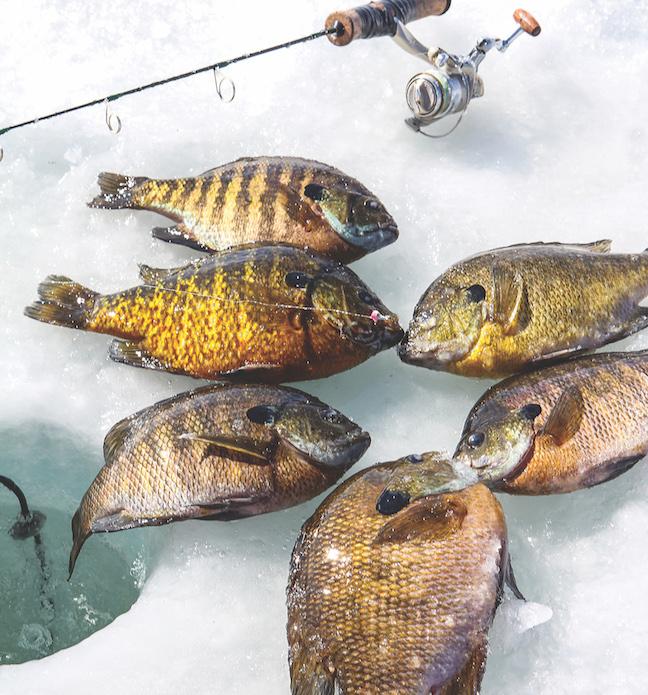 Ice fishing late season panfish tactics game fish for What fish are in season