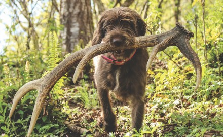 Dogs can be trained to find sheds by sight and by smell. (Photo by Scott Haugen)