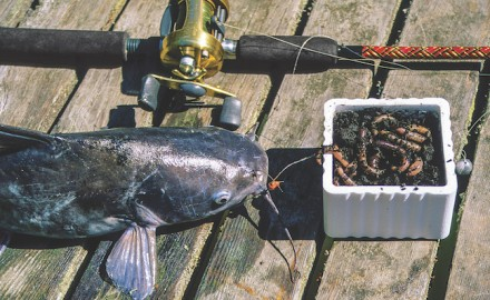 Catfish are not very picky when it comes to eating, being willing to hit a wide variety of baits. However, some baits actually do work better than others.
