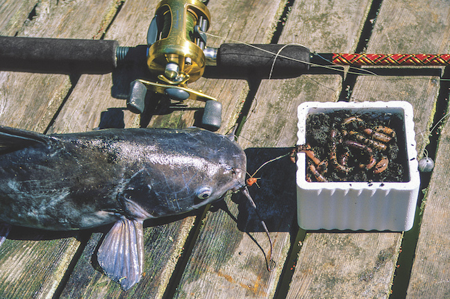 5 winter catfish baits that work game fish for Fishing with chicken liver