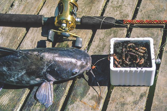 5 Winter Catfish Baits That Work