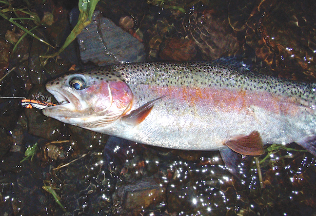 wary trout