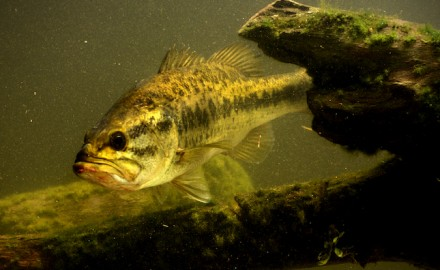 Ten black bass species live in Georgia. (Shutterstock image)  Regardless of the time of year,