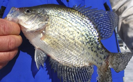 Black crappie tend to prosper in our clearwater lakes, while white crappie do better in more murky
