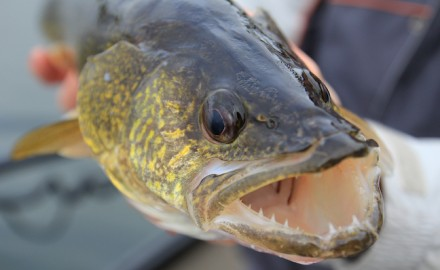 open-water walleye