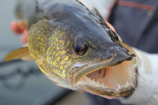 Open water walleye rush time in wisconsin game fish for Best time to fish for walleye