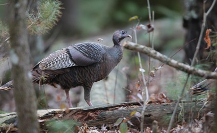 MN Turkey Hunting Outlook Feature