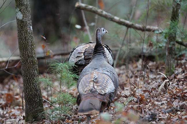 2018 New England Turkey Hunting Outlook