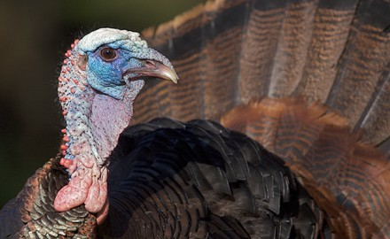 OH Turkey Hunting Outlook Feature