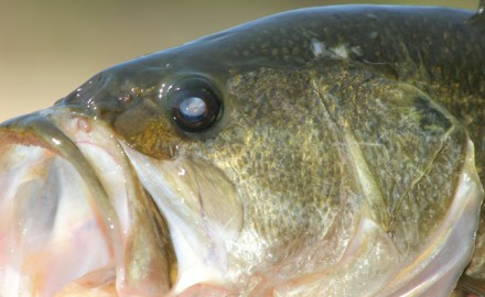 Mountain State bass anglers should have a good year, with numerous locales to pursue all three