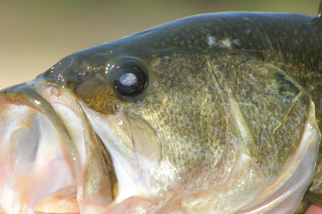 big bass targets