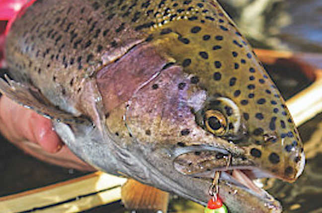 high country trout