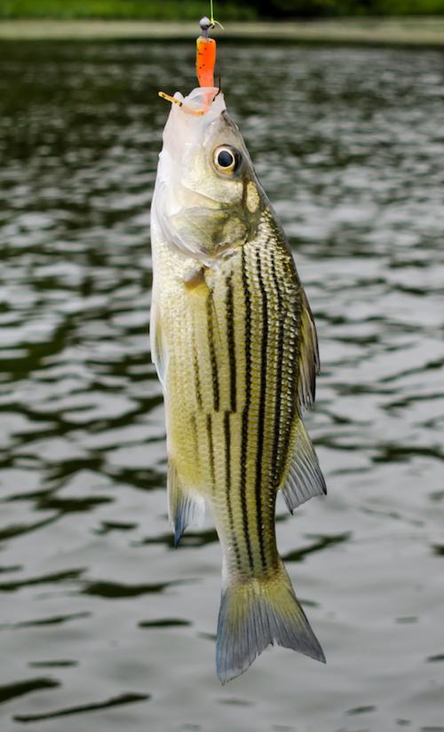 Striper and Bass Fishing