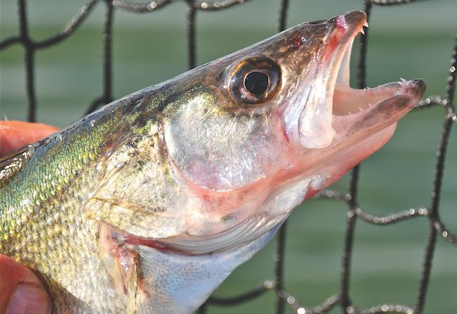 Michigan walleye fishing
