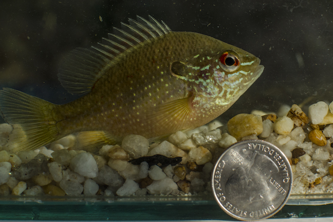 This is Micro-Fishing: Big Interest in Tiny Fish