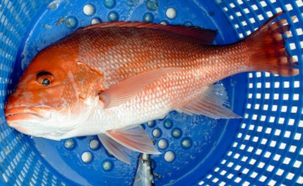 (Photo from Fla. DFWC Flickr)  Florida has extended its recreational red snapper season by more