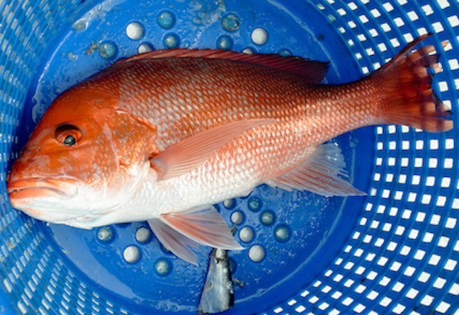 Red Snapper Season Announced in Florida