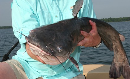 Because Florida has so many different species, both freshwater and saltwater, catfish aren't as