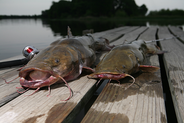 TN Catfish Forecast Feature