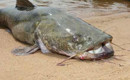 TX Catfish Forecast Feature
