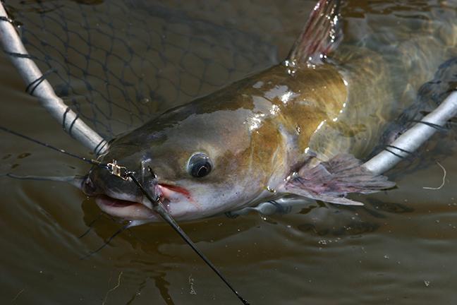 VA Catfish Forecast Feature