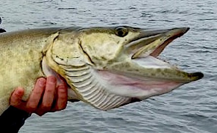 It often takes long hours of effort to put a lure in front of a cooperative muskie.
