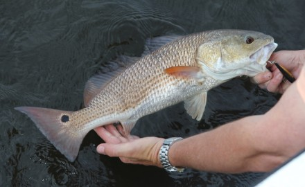 Redfish are easily fooled using loud baits; even flies which incorporate rattle chambers