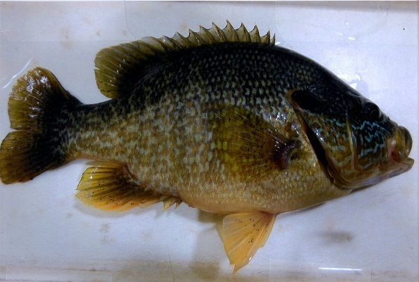 Newswanger's record green sunfish weighed 1.2 pounds. (Photo courtesy Ohio Division of Wildlife)
