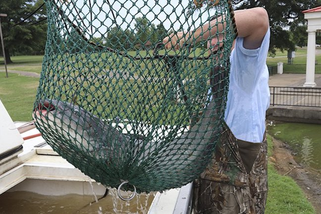 Summer Incentive: Big Blue Catfish Stockings Could Mean Catch of Lifetime