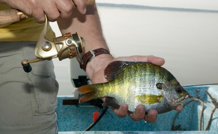 Catching bluegills is fun for kids and adults alike and they are great on the dinner table.