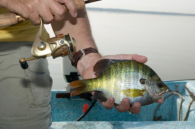 Fast & Furious: Summer Heats Up For Missouri Panfish