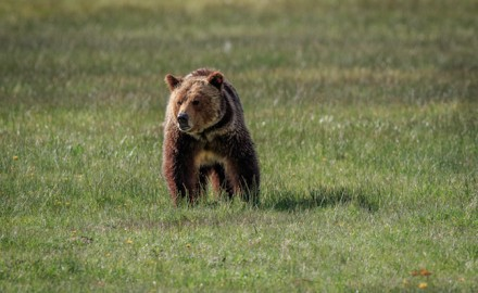 Shutterstock image  A couple of recent grizzly bear incidents has Montana Fish, Wildlife &