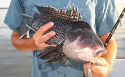 Sea bass numbers are on the rise in most areas. Sea bass are a blast to catch and wonderful table