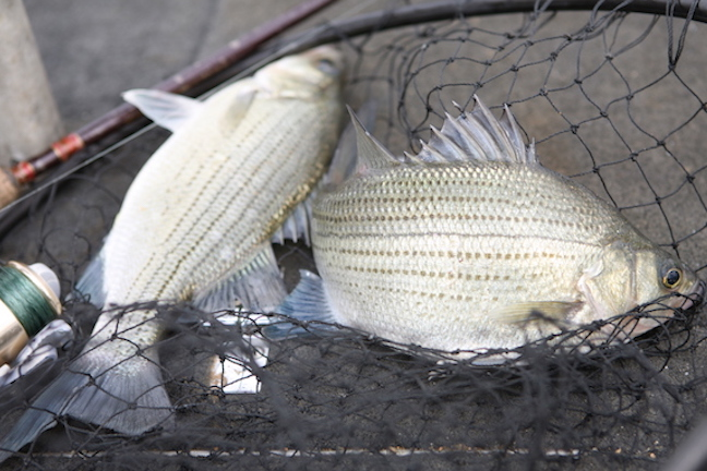 Prime Time June Tips For White Bass