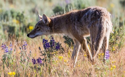 Focusing on coyote behavior is just one key to success when hunting them in the West's vast