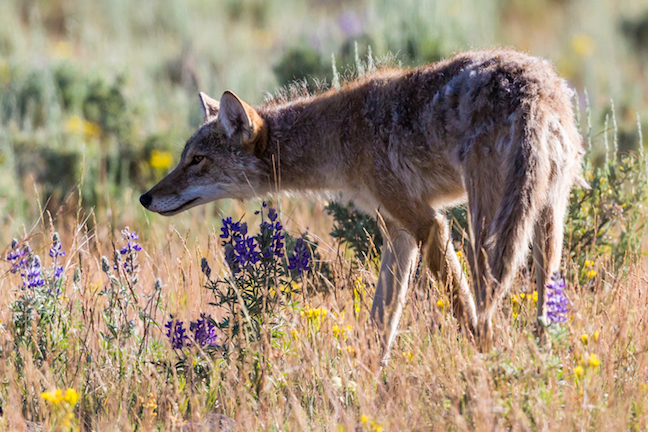 Western Coyotes: Focus on Behavior, Scouting, Approach