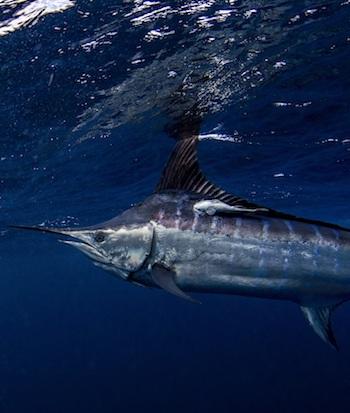 billfish conservation
