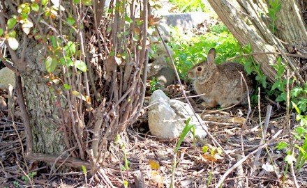 As habitat improvements accumulate, the future for rabbits (and rabbit hunting) and other wildlife will brighten.
