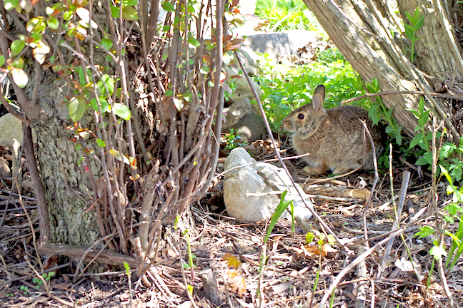 Rabbits: How to Manage Your Land for More Cottontails