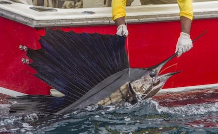 Fishing groups are applauding the signing into a law last week of a bill that strengthens an existing law promoting billfish conservation