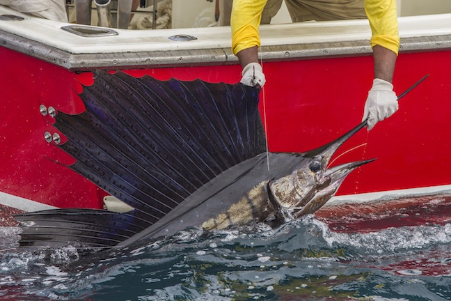 Angler-Backed Law Strengthens Billfish Conservation Act