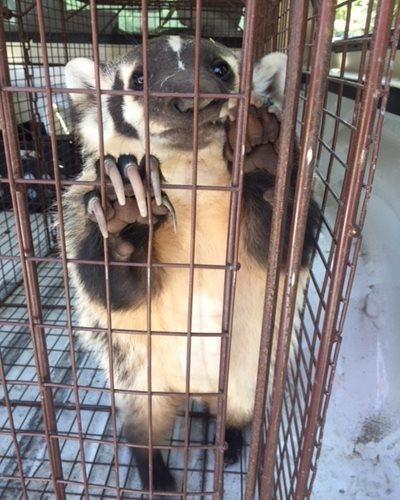 badger-in-trap_1
