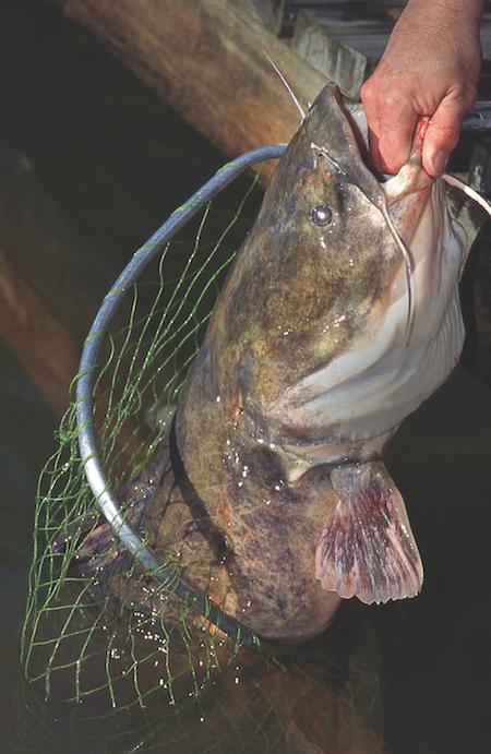 fall catfish
