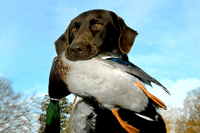 What Makes Labs Great Hunting Dogs