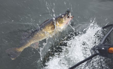 Go big and go fast to catch fall walleyes that are targeting the largest baitfish of the season.