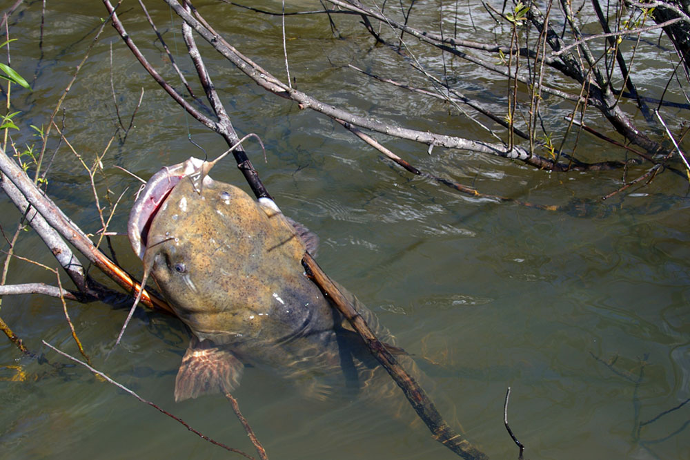 //www.gameandfishmag.com/files/8-reasons-youre-not-catching-trophy-catfish/reason_not_catching_002.jpg