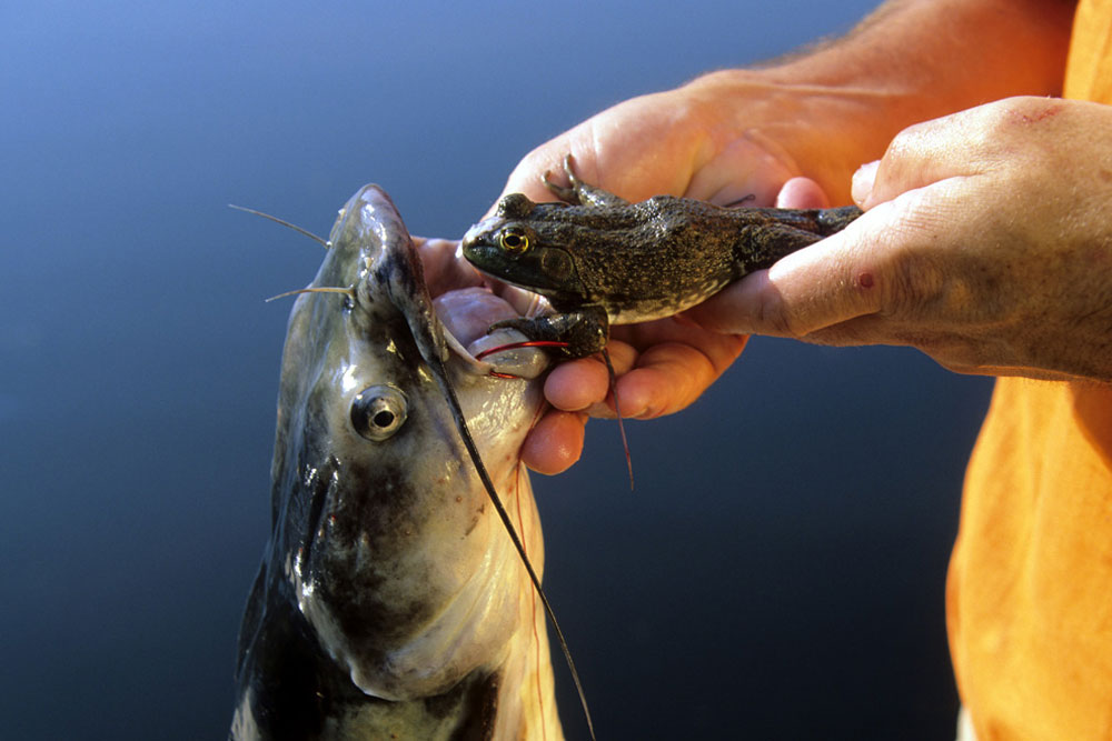 //www.gameandfishmag.com/files/8-reasons-youre-not-catching-trophy-catfish/reason_not_catching_006.jpg