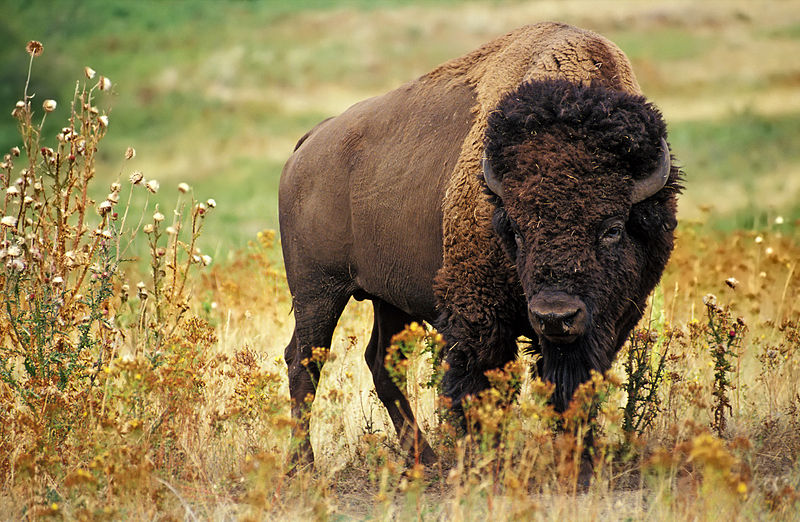 //www.gameandfishmag.com/files/best-u-s-big-game-hunts/bison.jpg