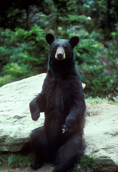 //www.gameandfishmag.com/files/best-u-s-big-game-hunts/black_bear.jpg